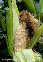 CR04-006z  Corn