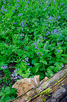 Virginia Bluebells (Mertensia virginica) and shelf Fungi - Dryads Saddle on a log color the forest floor at a nature preserve in Will County, Illinois