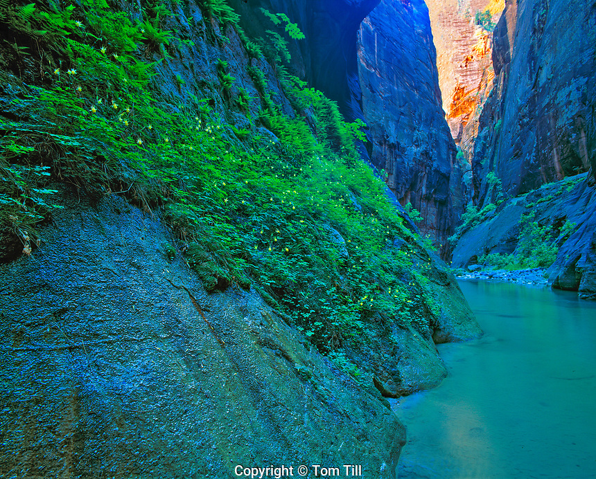 Inside the Zion Narrows Zion National Park, Utah  Deep slot canyon with springs and lush vegetation  Virgin River