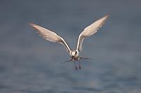 Forster's Tern (Sterna forsteri) hovering while hunting for fish, East Pond, Jamaica Bay Wildlife Refuge