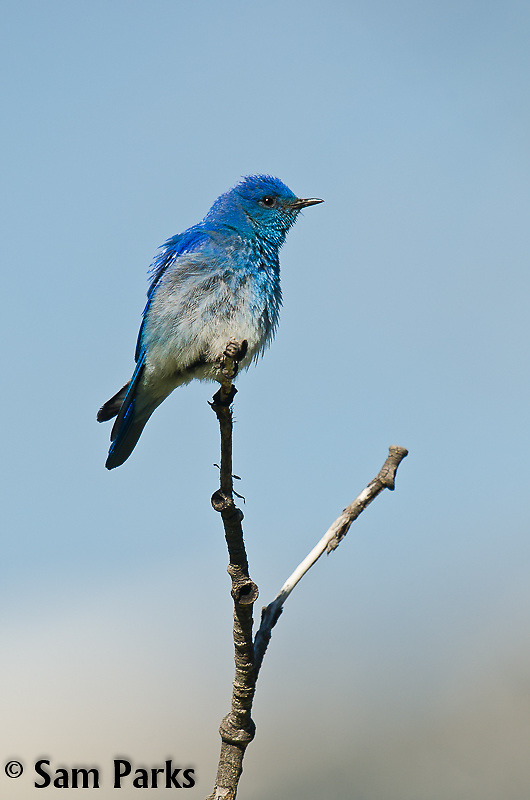 Male mountain bluebird. Yellowstone National Park, Wyoming.