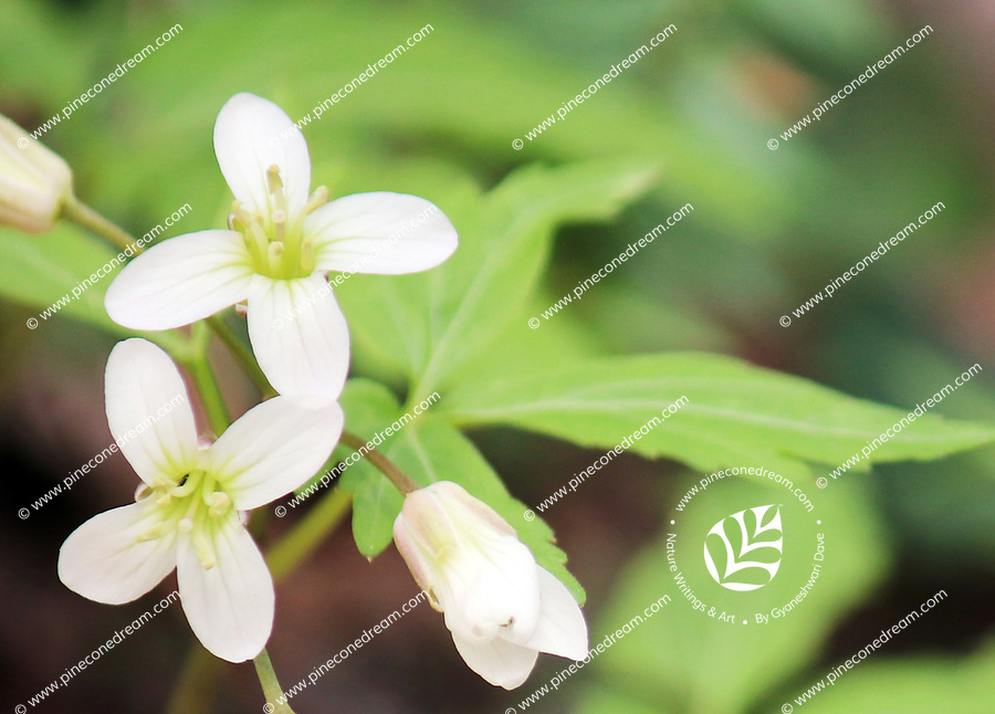 Delicate white Toothwort wildflowers blooming in Spring at the Smoky mountains wood - Free Nature Stock Image.
