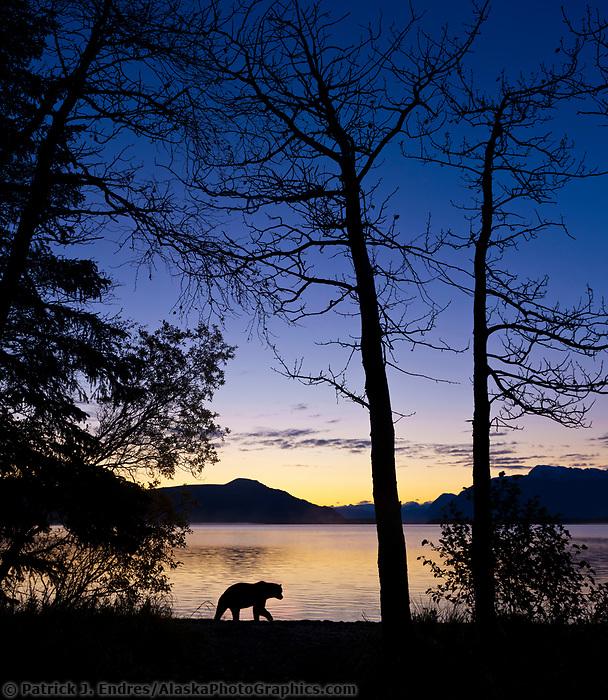 Brown bear walks along the beach of Naknek lake at dawn in Katmai National Park, southwest, Alaska.