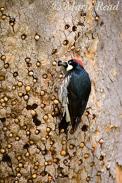 Acorn Woodpecker (Melanerpes formicivorus), male at granary tree showing many stored acorns, Orange County, CA