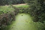 Dew pond suffering eutrophication