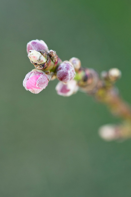 Flower buds breaking on nectarine 'Nectarella', early March.