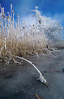 Frost on reeds on frozen lake, Finstersee, Zug, Switzerland