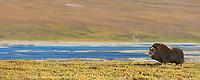 Panorama of a lone Muskox along the Sagavanirktok river on the Arctic Coastal Plains, Alaska.