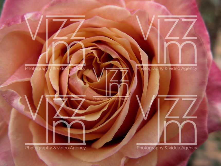 BOGOTÁ-COLOMBIA-15-01-2013. Rosa rubiginosa Gold Bush. Rose rubiginosa Gold Bush. (Photo:VizzorImage)