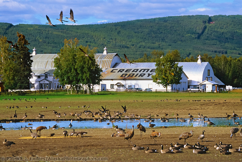 Creamer's Field migratory waterfowl refuge, Sandhill Cranes, Fairbanks, Alaska