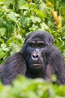Mountain Gorilla, Bwindi Impenetrable National Forest, Uganda, East Africa