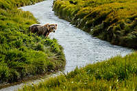 Alaska coastal brown (grizzly) bear sits by waters edge of slough in grass.  Lake Clark National Park Alaska.  Summer. <br /> <br /> Photo by Jeff Schultz/SchultzPhoto.com  (C) 2018  ALL RIGHTS RESERVED<br /> Amazing Views-- Into the wild photo tour 2018
