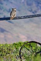 Great Horned Owl on fence. Summer Lake State Wildlife Refuge. Oregon