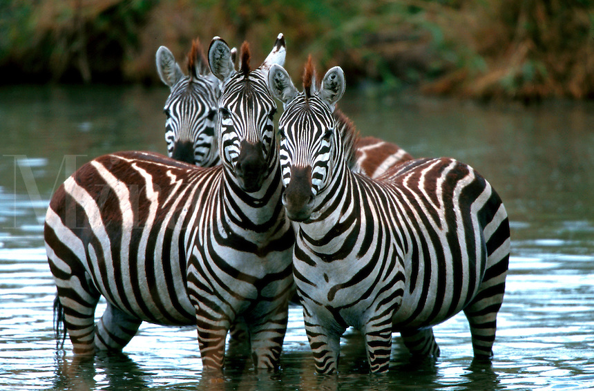 Zebras standing in river in close group, Serengeti National Park, Tanzania, Africa
