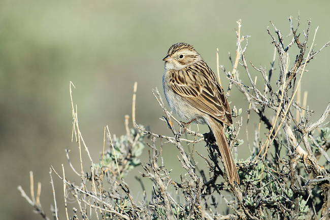 Brewer's Sparrow (Spizella breweri). Sublette County, Wyoming. May.