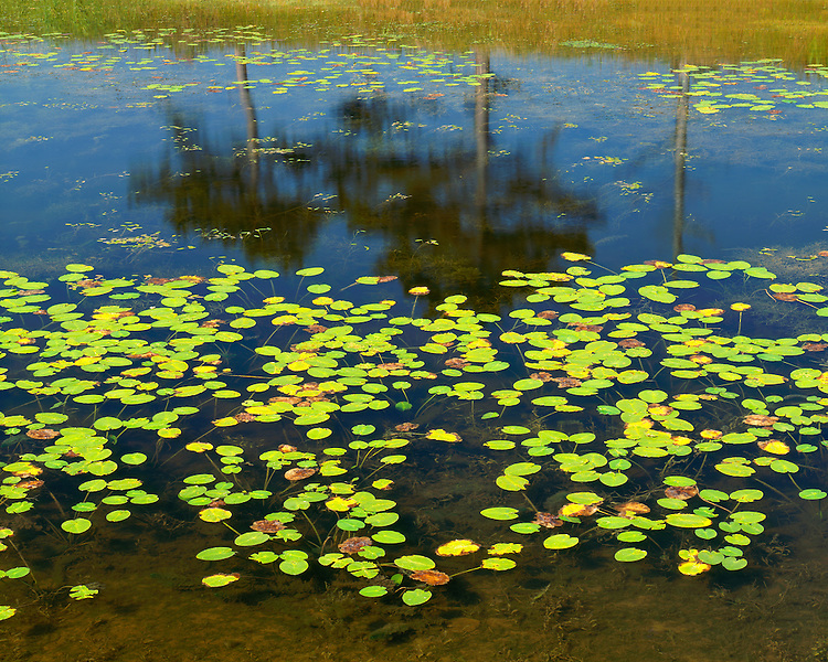 Evening light on lily pads on the Dead River on the shore of Lake Michigan; Illinois Beach State Park, IL