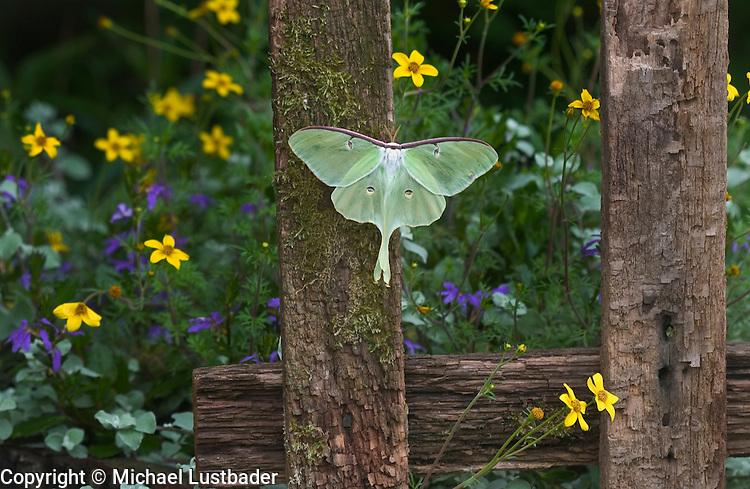 Luna moth (Actias luna) ingarden