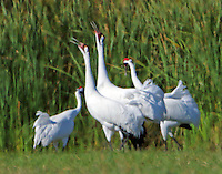 Whooping crane pair dancing together