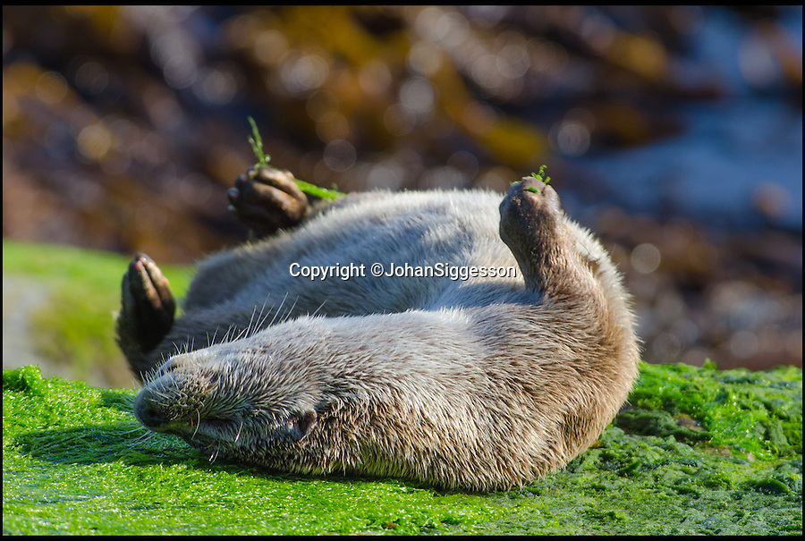 BNPS.co.uk (01202 558833)<br /> Pic: JohanSiggesson/BNPS<br /> <br /> ***Please Use Full Byline***<br /> <br /> Otterly adorable...<br /> <br /> An otter scratches a hard-to-reach itch on its back against on a rock after filling up on fish.<br /> <br /> The adult otter had been enjoying an early morning feeding session scoffing fish and crabs in the waters of Scotland's Shetland Isles.<br /> <br /> But after gorging on grub the otter laid dragged itself onto nearby rocks to let its food go down.<br /> <br /> After rolling onto its back the otter then proceeded to wriggle up against the rocks to scratch its back.<br /> <br /> The amusing scenes were caught on camera by professional wildlife photographer Johan Siggesson during a trip to Scotland's Shetland islands.