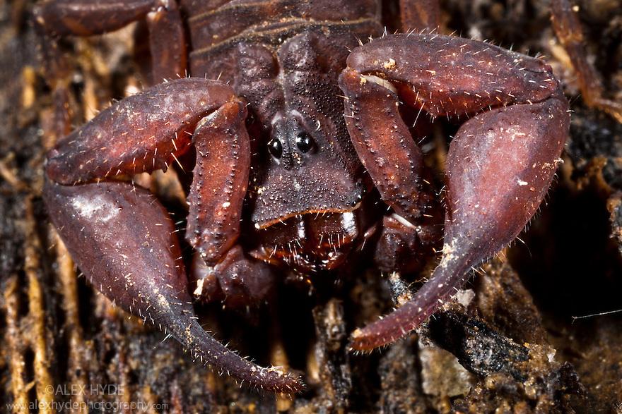 Scorpion {Scorpiones} discovered under rotting log, tropical rainforest, Andasibe-Mantadia NP, Madagascar