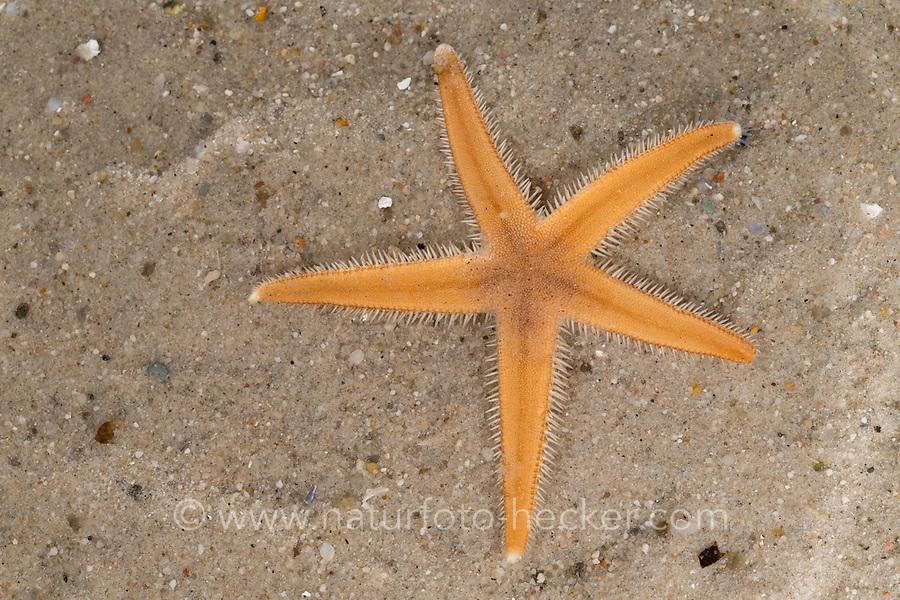 Seestern, Luidia sarsii, Luidia sarsi, starfish, starfishes, sea-star, seastar, sea-stars, Seesterne