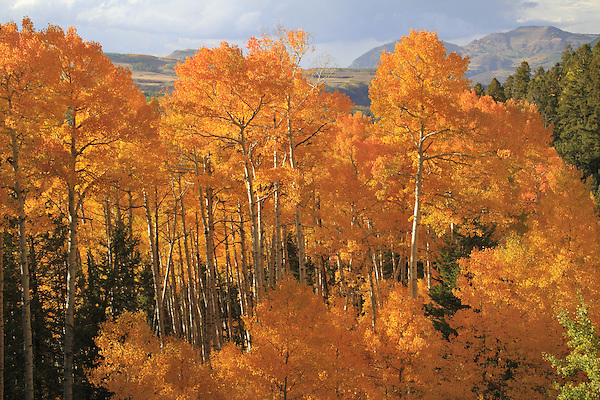Autumn Aspen trees in the San Juan Mountains, near Telluride, Colorado, USA. John offers autumn photo tours throughout Colorado.