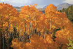 Autumn Aspen trees in the San Juan Mountains, near Telluride, Colorado, USA. John offers autumn photo tours throughout Colorado.