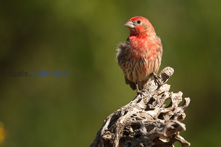 House Finch male (Carpodacus mexicanus), Arizona, USA