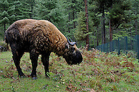 A takin at the Takin sactuary in Thimpu. Takin is the national animal of Bhutan and they live at a very high altitude.. Arindam Mukherjee..
