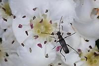 Mattschwarzer Blütenbock, Rothörniger Blütenbock, Grammoptera ruficornis, Common Gramoptera, Blütenbesuch auf Apfel, Apfelblüte