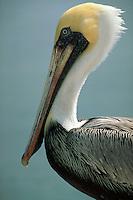 Brown Pelican, close-up, Florida Keys. Florida.