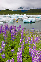 Kayaking among icebergs from the Columbia glacier, Lupine wildflowers, northern Prince William Sound, southcentral, Alaska.