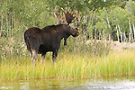 A moose stands on the bank of a pond in Northwest Wyoming.