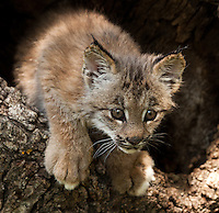 Canada Lynx climbing out out a hollow log - CA