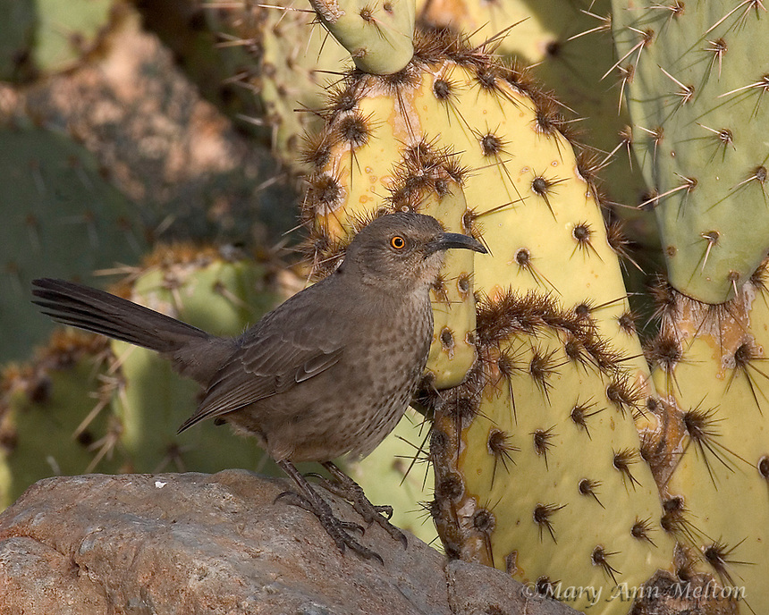Curve-billed Thrasher (Toxostoma curvirostre) Tuscon Mountain Park - wild