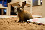 February 26, 2012, Tokyo, Japan - A rabbit looks around at a rabbit cafe where customers can come in to have a drink and play with rabbits. (Photo by Christopher Jue/AFLO)
