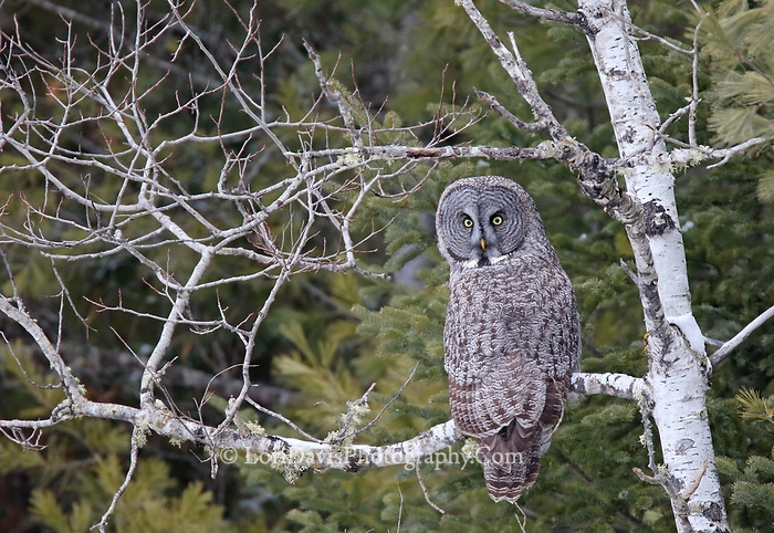 Great grey owl on birch  #B109