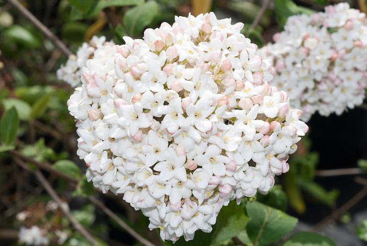 Viburnum x carlesii 'Aurora'