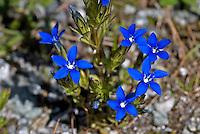 Schnee-Enzian, Schneeenzian, Gentiana nivalis, Snow gentian, Alpine gentian