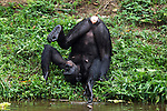 Bonobo female scratching her back on plants (Pan paniscus), Lola Ya Bonobo Sanctuary, Democratic Republic of Congo.