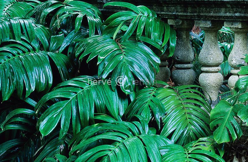 06/ Jardin botanique &quot;Les Cèdres&quot;<br /> Balustres et philodendron : à droite = Monstera deliciosa et à gauche = Rhaphidophora decursiva).
