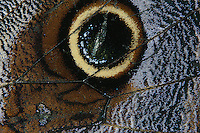 Caligo sp.<br /> Ocellus - eye spot on hind wing<br /> Panama