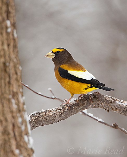 Evening Grosbeak (Coccothraustes vespertinus), male in winter, Madison County, New York, USA