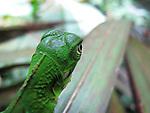 Iguanilla. Clayton (Panamá)