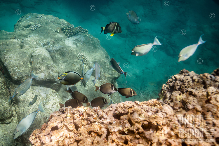 Whitebar surgeonfish and other fish feed along the reef at Shark's Cove, North Shore, O'ahu.