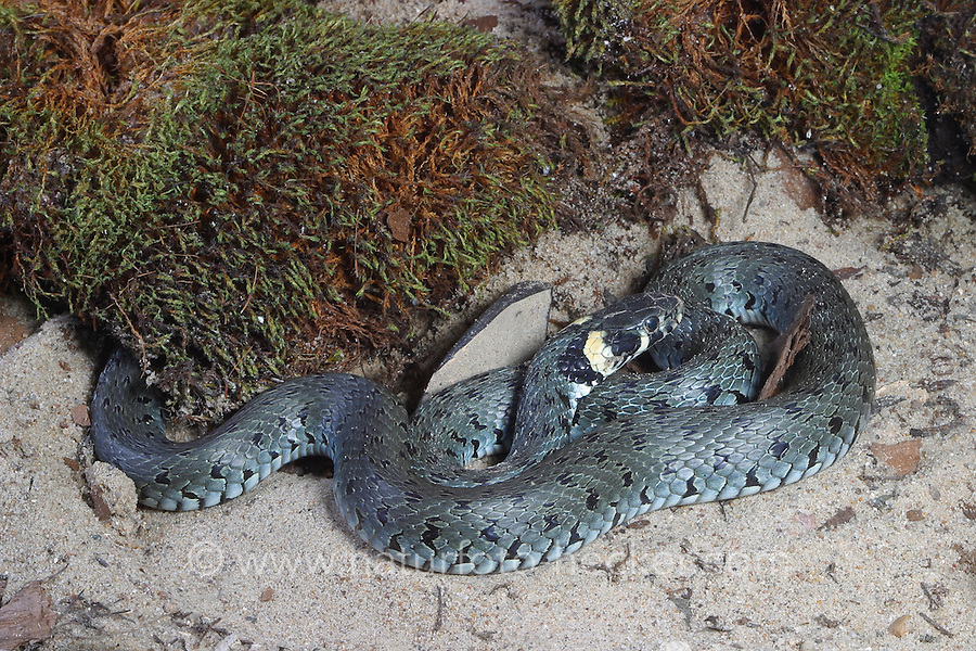 Ringelnatter, Ringel-Natter, Natter, Natrix natrix, Grass Snake, Couleuvre á collier