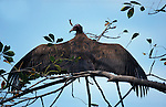 Hooded Vulture, Monachus gambia, in tree with wings stretched, West Africa.