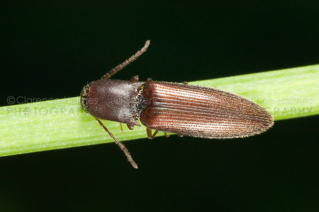 Click Beetle (Agriotes oblongicollis), West Harrison, Westchester County, New York