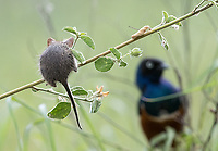 What I believe is a Nairobi grass rat gathers food above the ground. A Superb starling has the same idea.