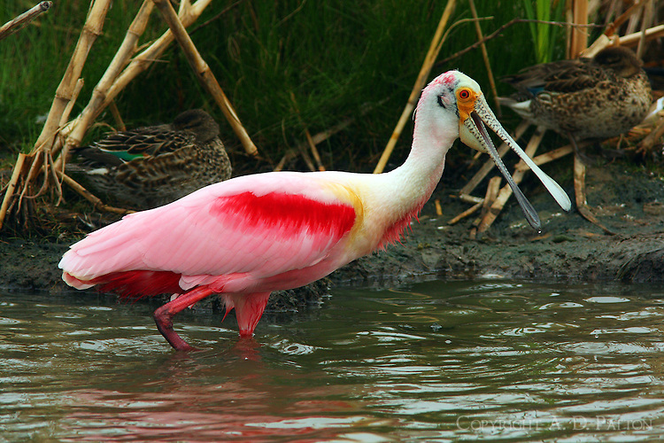 Adult roseate spoonbill complaining about my presence I think.